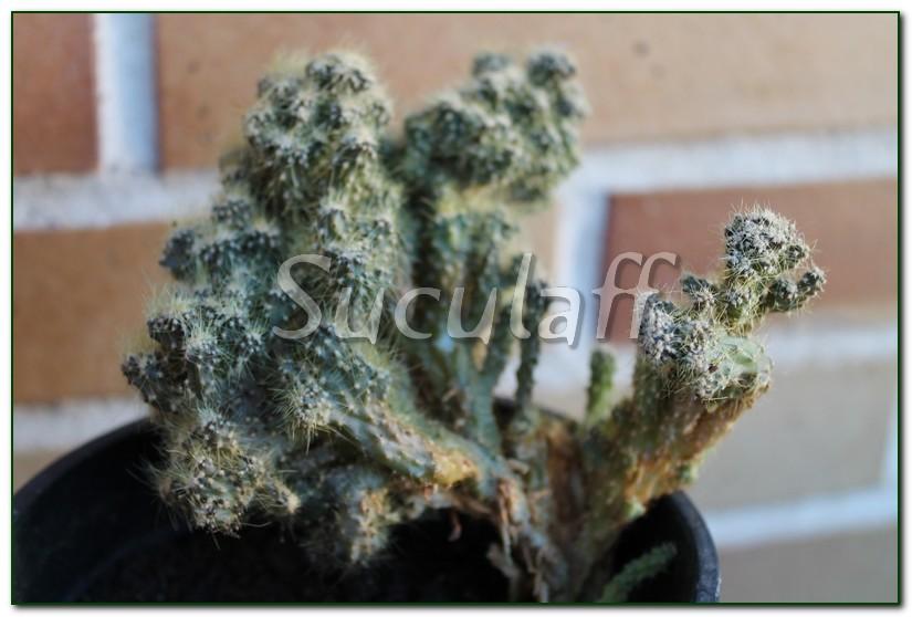 Cereusspmounstroso1_zps0e8fbf74.jpg