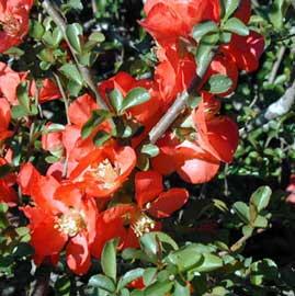chaenomeles-speciosa-flores.jpg