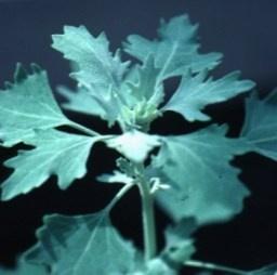 chenopodiumhircinum%20o%20quinoa%20criolla.jpg