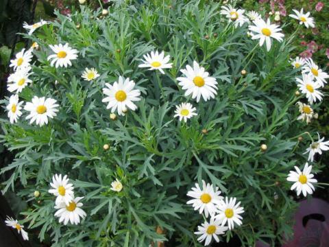 Chrysanthemum_frutescens.jpg