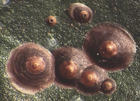 chrysomphalus-ficus-04.jpg