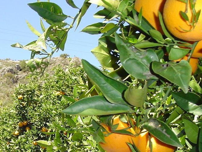 citricosespanoles.jpg