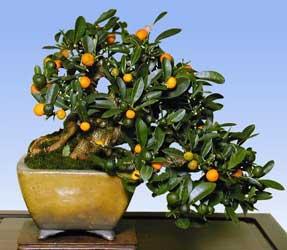 citrus-bonsai-1.jpg