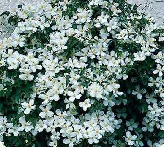 clematis%20montana%20grandiflora.jpg