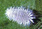 cochinilla-cotonet-pseudoco.jpe