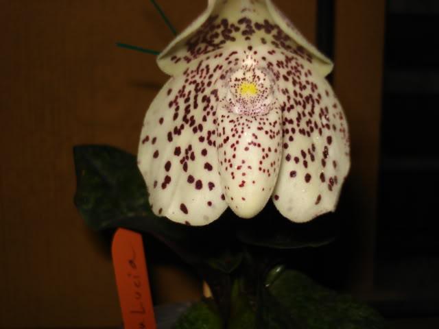 coco-bellatulum008.jpg