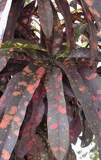 Codiaeum_variegatum.jpg