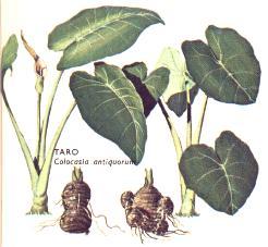 C mo saco un reto o o hijo de una alocasia u oreja de for Planta ornamental oreja de elefante