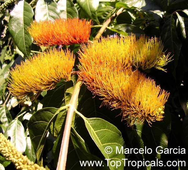 Combretum-fruticosum-1.jpg
