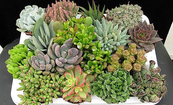 como-cuidar-de-las-plantas-suculentas.jpg