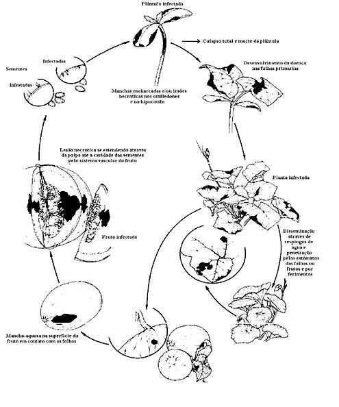 controlbacteriosismelon.jpg