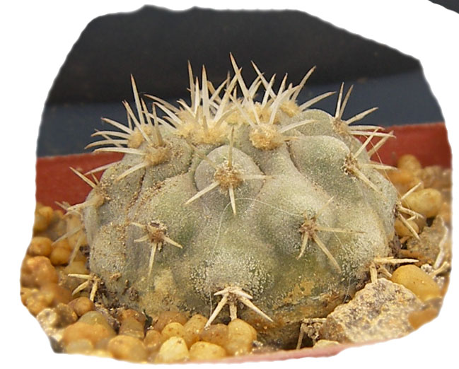copiapoa_cinerascens1b.jpg