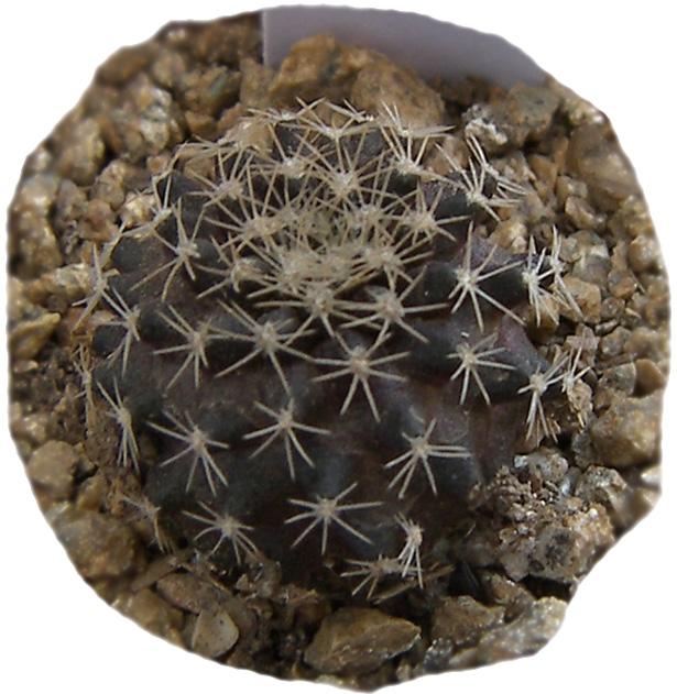 copiapoa_tenuissima1a.jpg