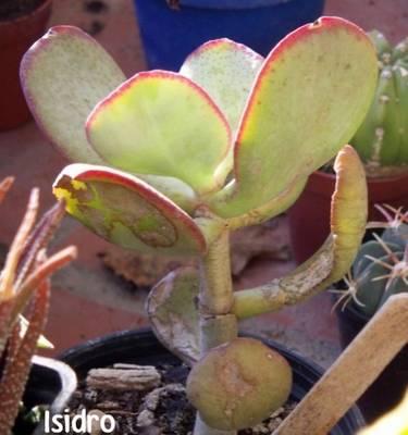 Crassula_arborescens1.jpg