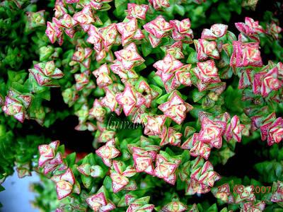 crassula_rupestris_ssp_brevifolia_lourdes.jpg