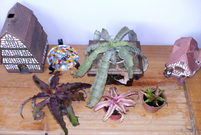cryptanthus.jpg