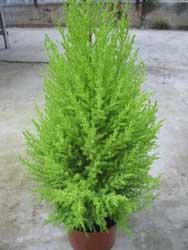 cupressus-macrocarpa-goldcr.jpg
