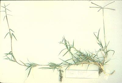 Cynodonstolon1.jpg