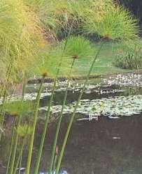 cyperuspap5.jpg