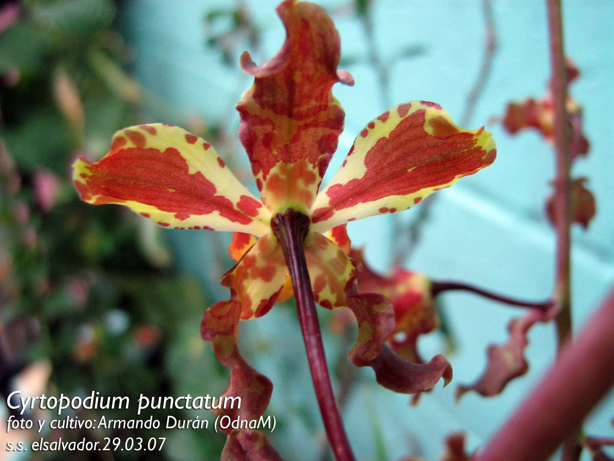 Cyrtopodiumpunctatum2.jpg