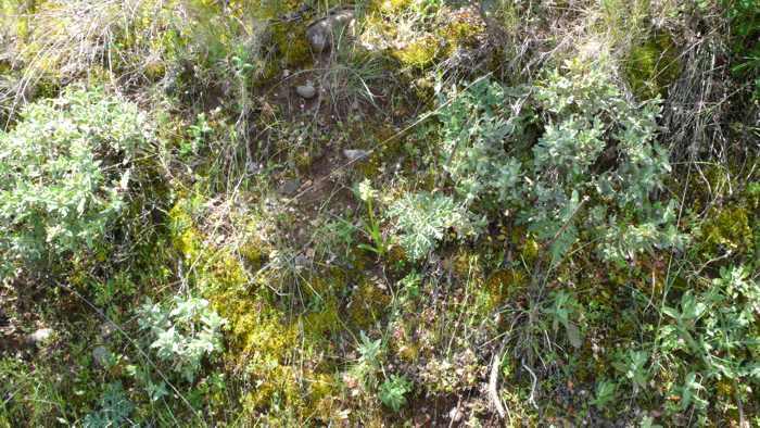Dactylorhiza_insularis_01.jpg