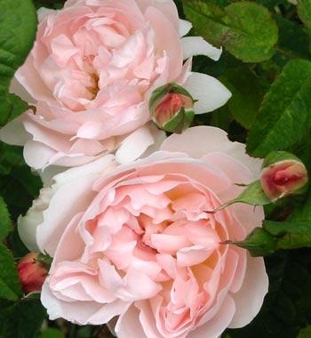 david-austin-rose.jpg