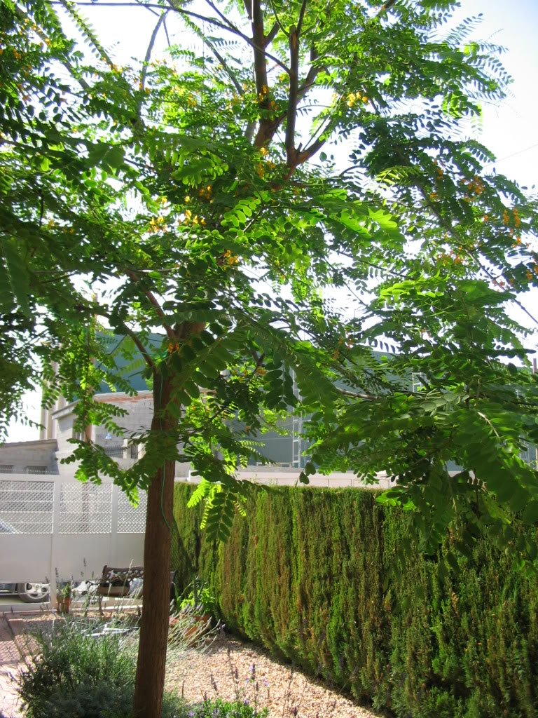 arboles de sombra de crecimiento ultra r pido