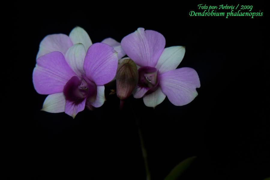 dendrobium_phalaenopsis_01.jpg