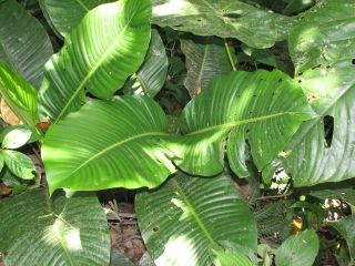 Dieffenbachia_species_elongate_leaf_Img_9033_Thumb.jpg