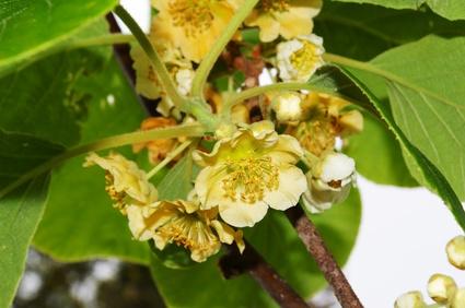 difference-male-female-kiwi-plants-800x800.jpg