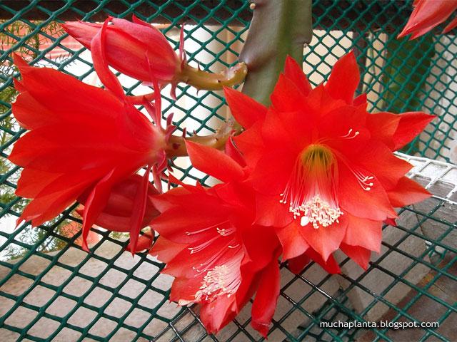 Disocactus_ackermannii_flowers.jpg