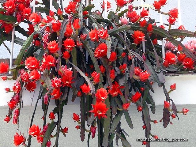 Disocactus_Ackermannii_ramificado.jpg