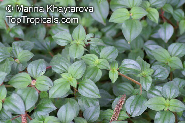 Dissotis_rotundifolia_1MKh.jpg