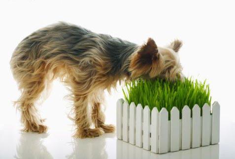 dog%2Beating%2Bgrass.jpg
