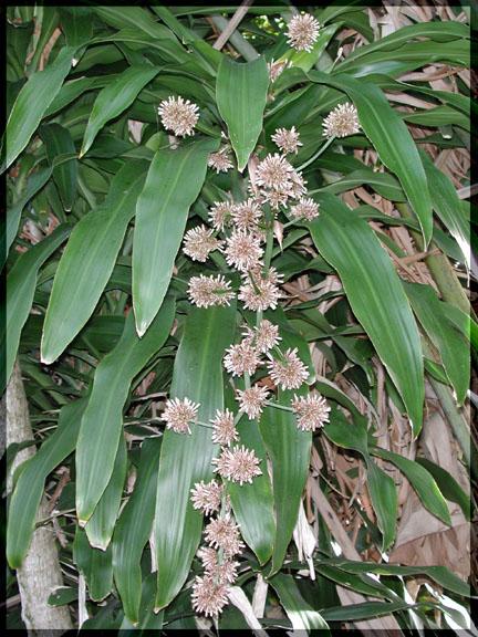 dracaenafragransflowers.jpg