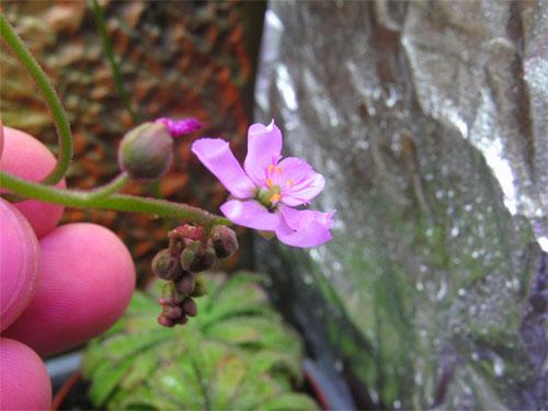 Drosera-aliciae-flor.jpg