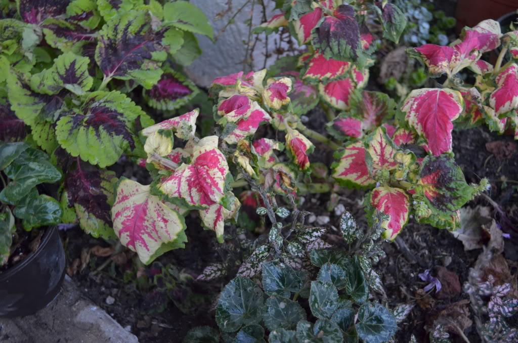 Alegr as del hogar con hojas y flores deformes - Planta alegria del hogar ...