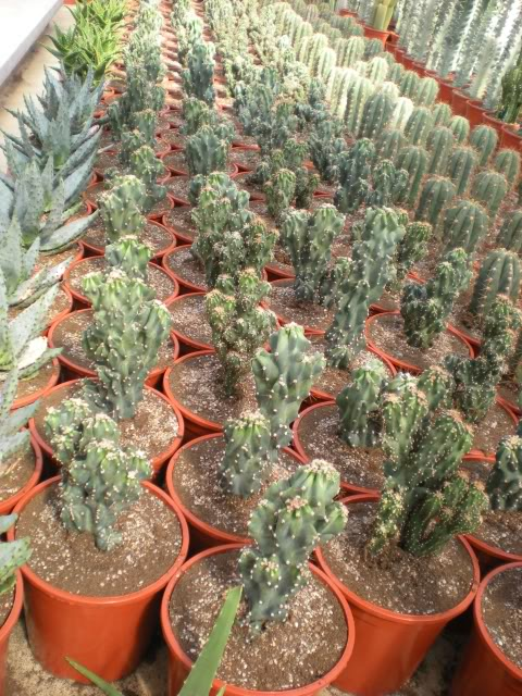 Vivero de cactus y crasas en girona for Vivero de cactus