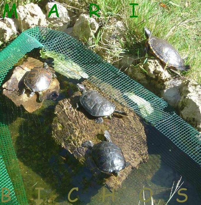 Elodea o myriophyllum plantas para que oxigenen mi for Filtro para estanque de tortugas