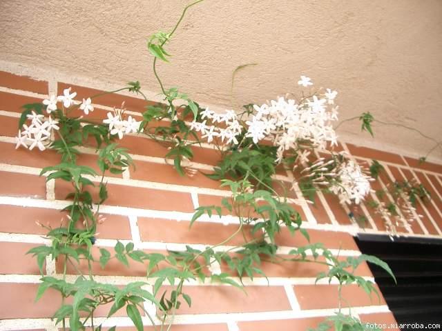 Trepadora para elegir para terraza en zaragoza quiz s - Madreselva en maceta ...