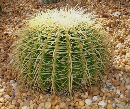 Cactus unos con flor y otros sin flor - Infojardin cactus ...