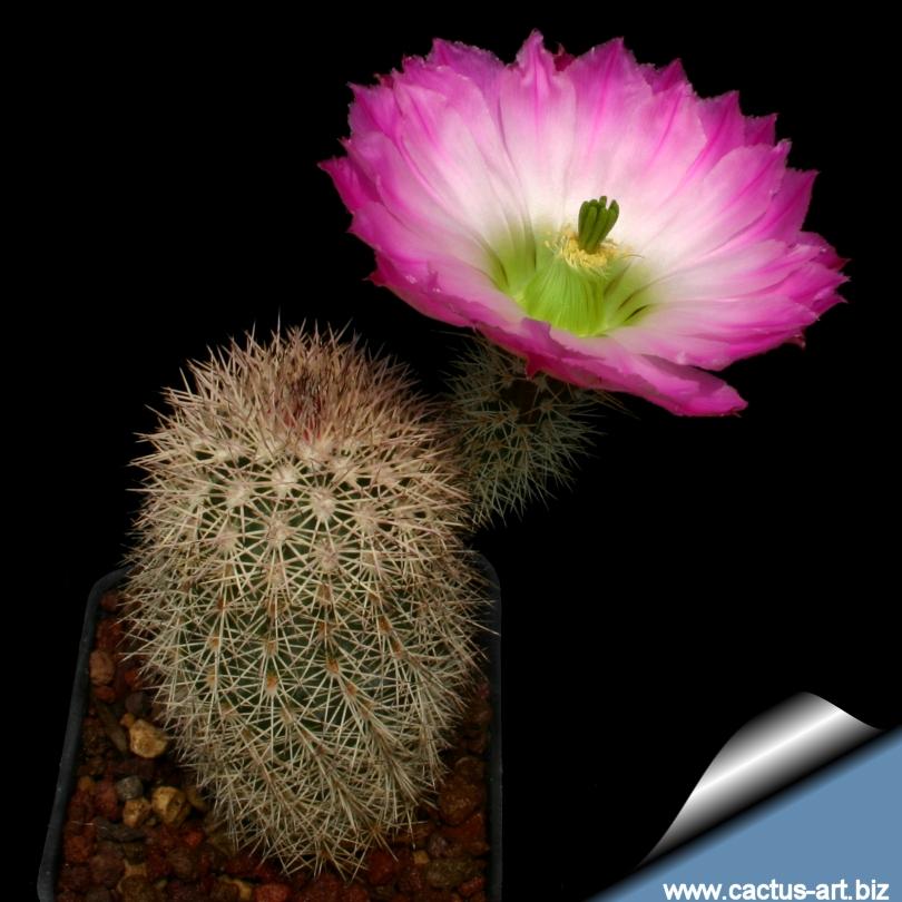 Echinocereus_scopulorum_810.jpg