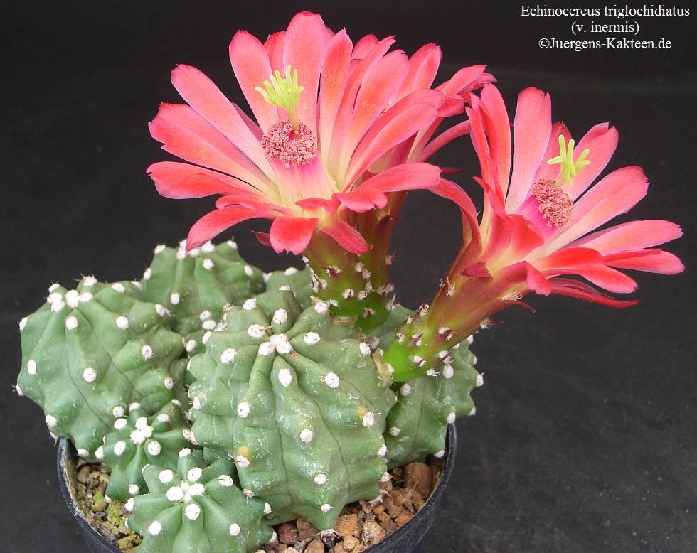 echinocereus_triglochidiatus_inermis.jpg