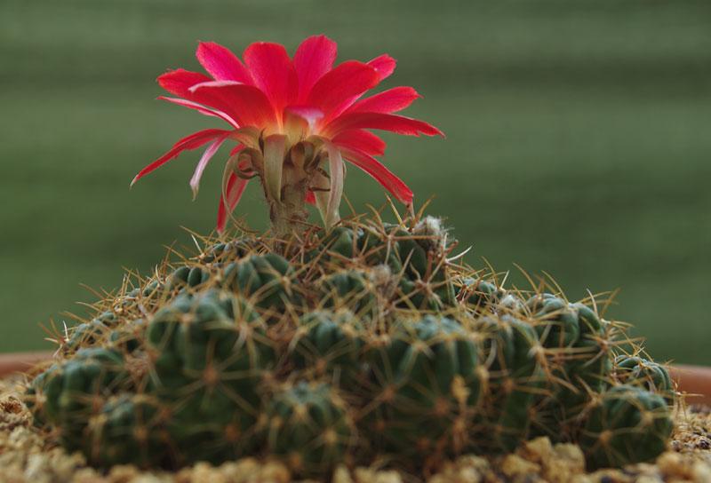 Echinopsis-tegeleriana-1.jpg