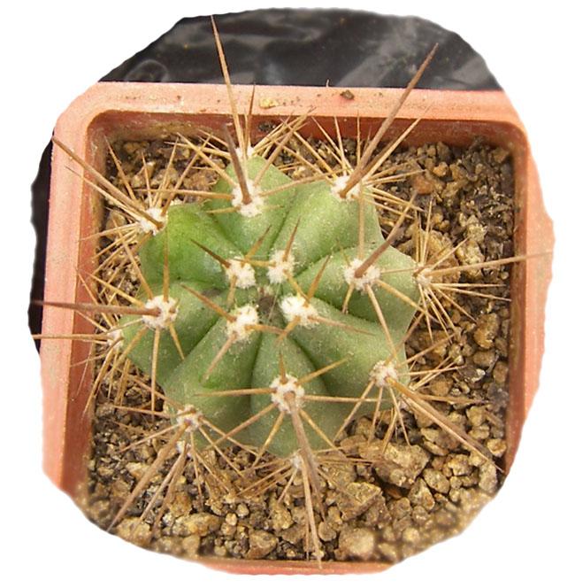echinopsis_chiloensis_1a.jpg