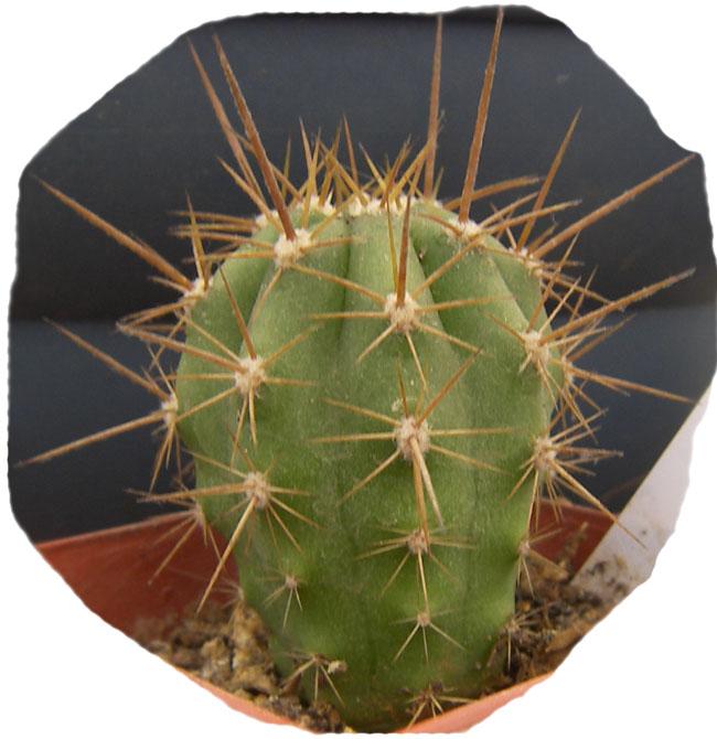 echinopsis_chiloensis_1b.jpg