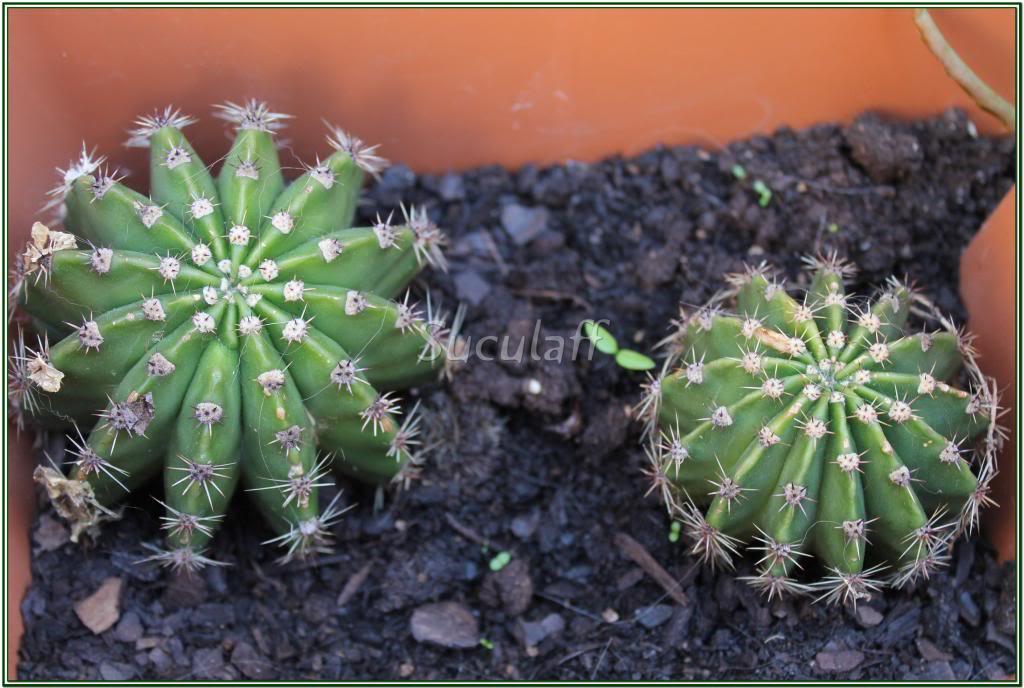 Echinopsis_zps8726b6a5.jpg