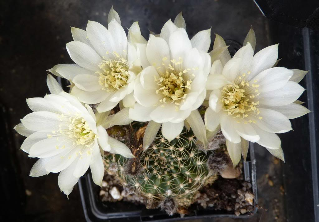 Echinopsisarachnacanthaalbiflora03_zpscc4025ae.jpg