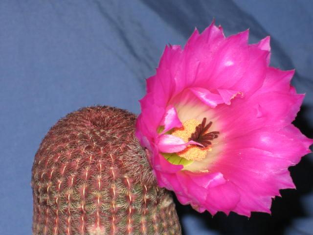 echinorubris2.jpg