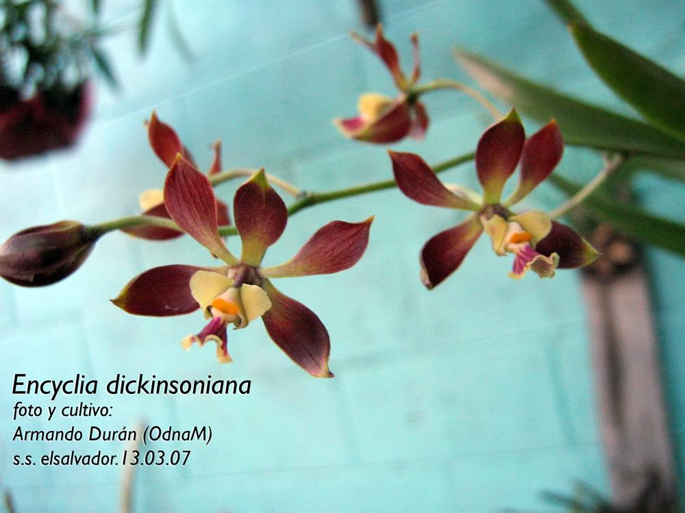 Encyclia-dickinsoniana1.jpg
